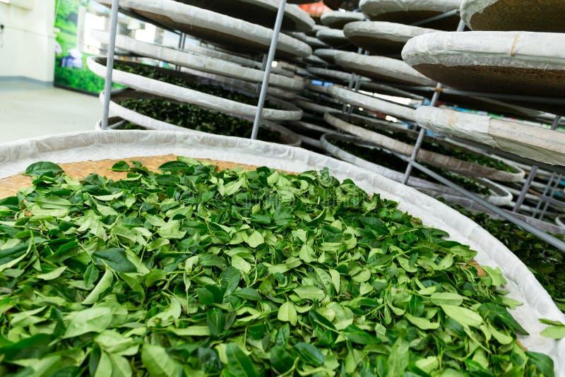 Traitement de la fermentation pour le thé image libre de droits