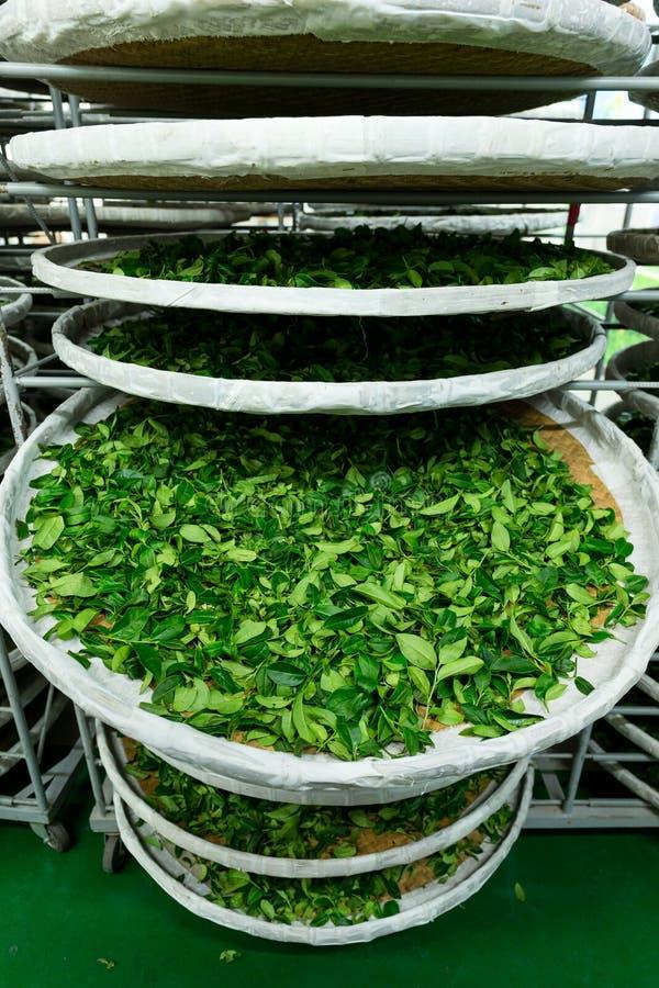 Traitement de la fermentation pour le thé photo libre de droits