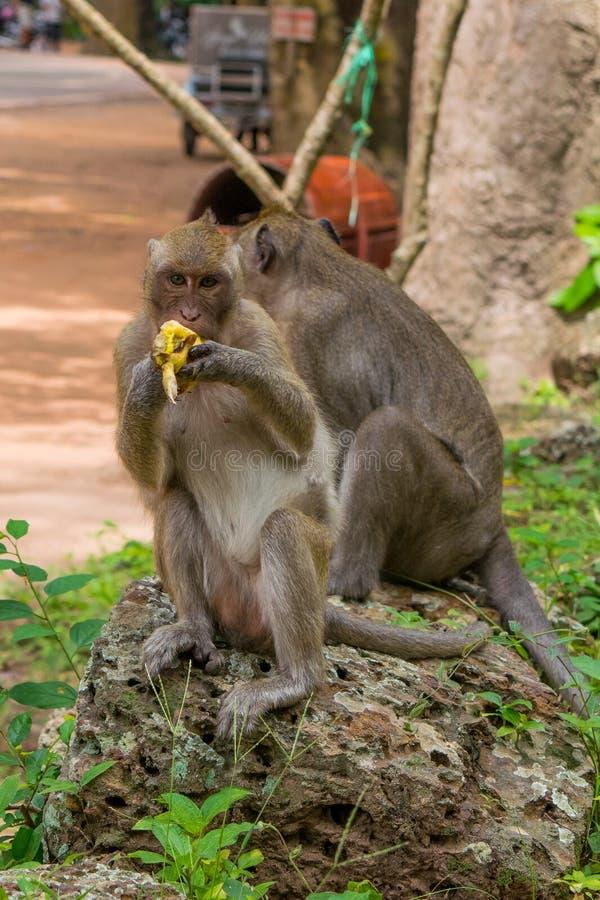 Traitement multitâche adulte de singe de macaque Sur la surveillance tout en mangeant la banane photos libres de droits