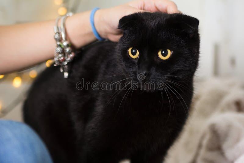 Traje vestindo do Natal do gato preto da dobra do Scottish Ano do conceito do cão imagem de stock royalty free