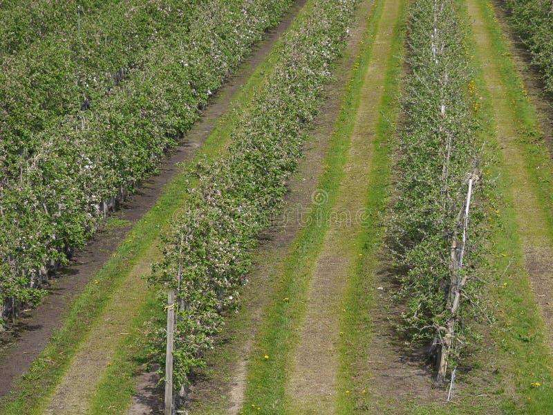 Trajeto agrícola de três trilhas, árvores de maçã novas estando direitos, saidos e entre os traços, pouco antes florescendo o app imagem de stock royalty free