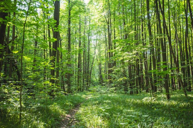 Trajeto através da floresta decíduo verde fotos de stock royalty free