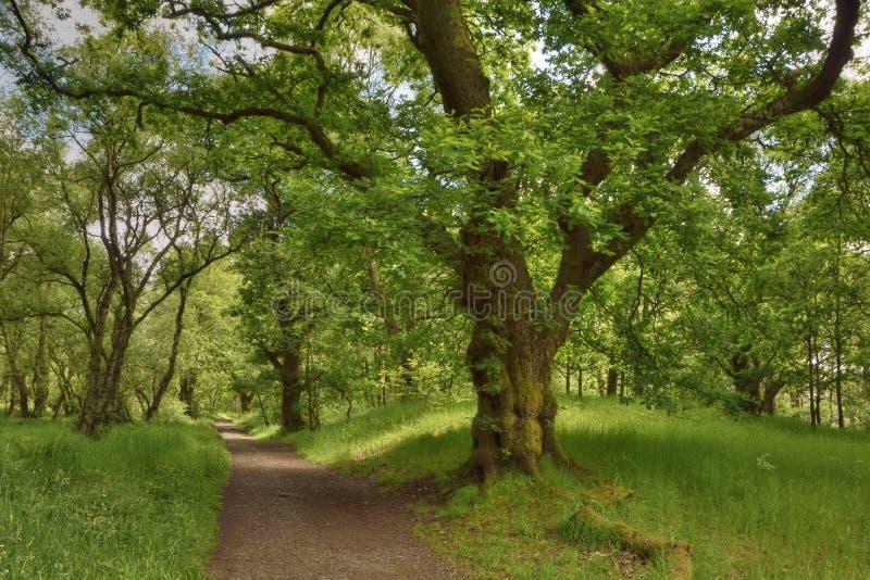 Trajeto através da madeira de carvalho antiga em Escócia central ocidental imagem de stock royalty free