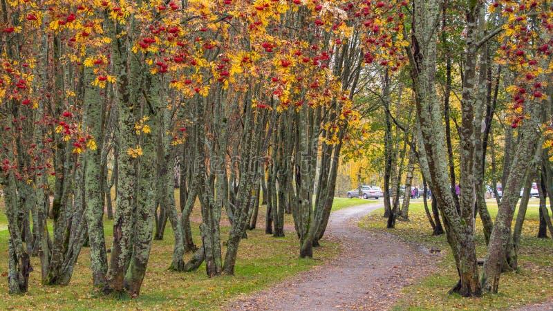 Trajeto através das árvores da baga de Rowan imagem de stock