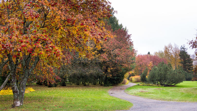 Trajeto através das árvores da baga de Rowan foto de stock