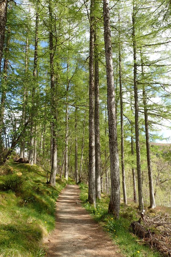 Trajeto através das árvores de larício altas no desfiladeiro de Corrieshalloch fotografia de stock