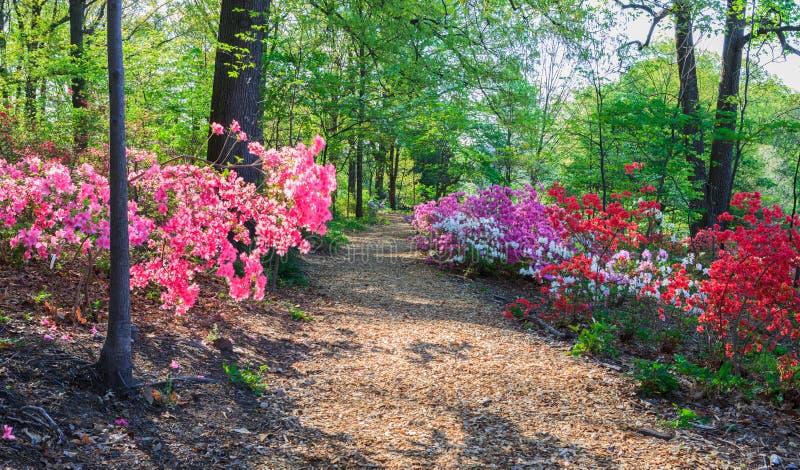 Trajeto através do arboreto do Washington DC das azáleas imagens de stock