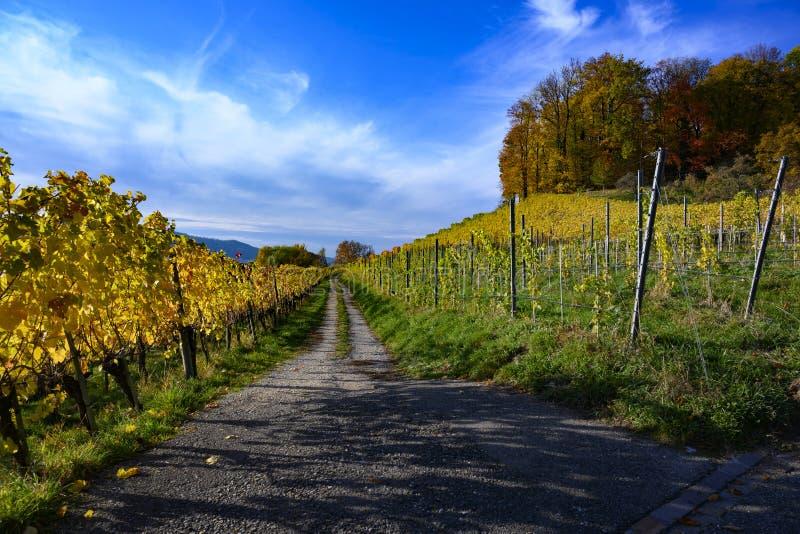 Trajeto através do vinhedo do outono com as folhas amarelas em Suíça fotos de stock royalty free
