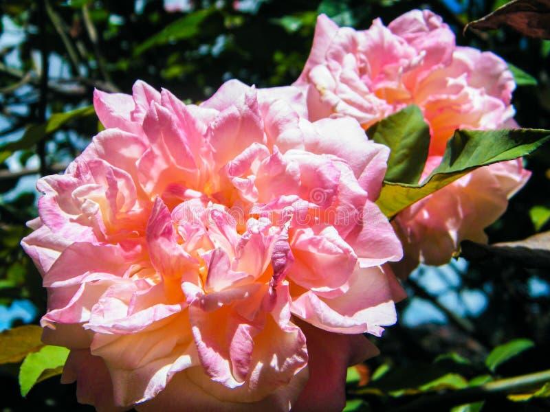 Trajeto das rosas imagem de stock royalty free