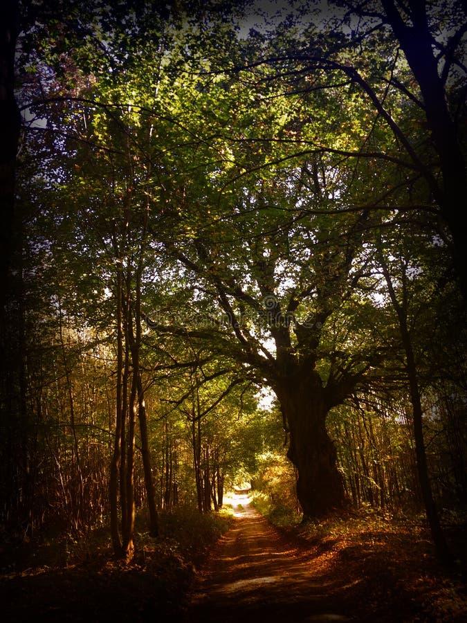 Trajeto de floresta com a árvore gigante no outono foto de stock royalty free