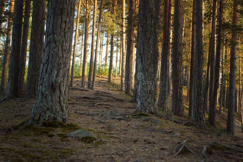 Trajeto de floresta com os pinheiros, ensolarados no por do sol no verão imagens de stock royalty free