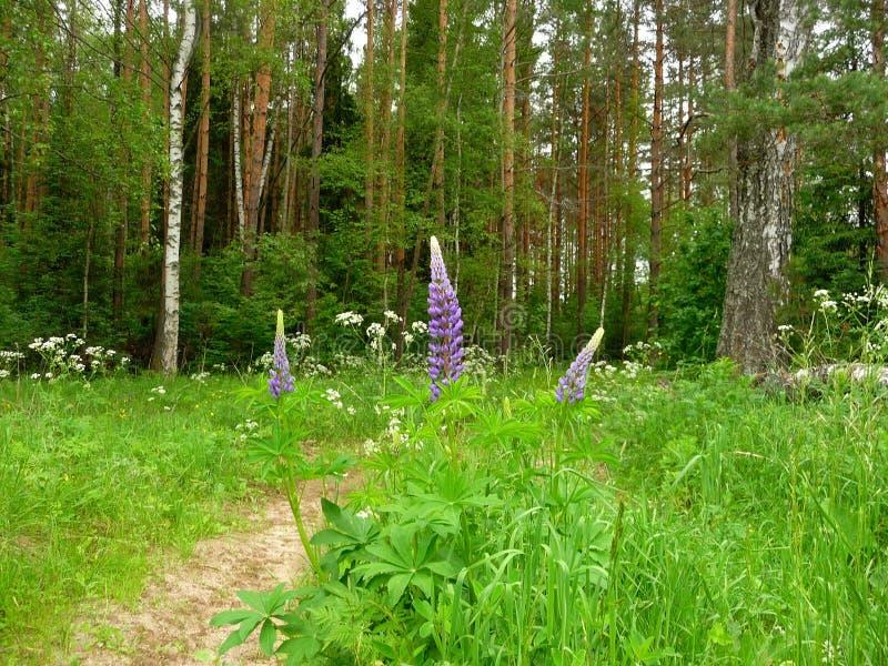Trajeto de floresta de Narrew, verão foto de stock