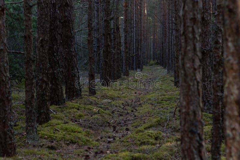 Trajeto de floresta entre pinheiros imagens de stock