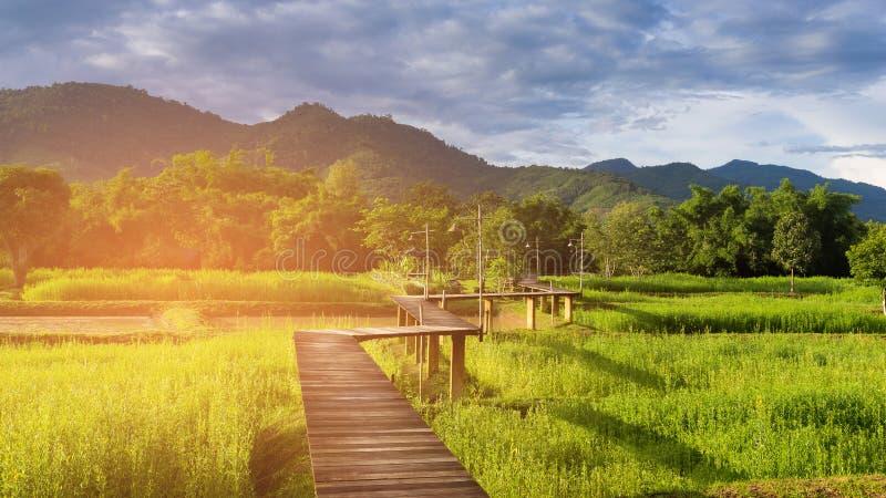 Trajeto de passeio de madeira sobre o campo do arroz fotos de stock