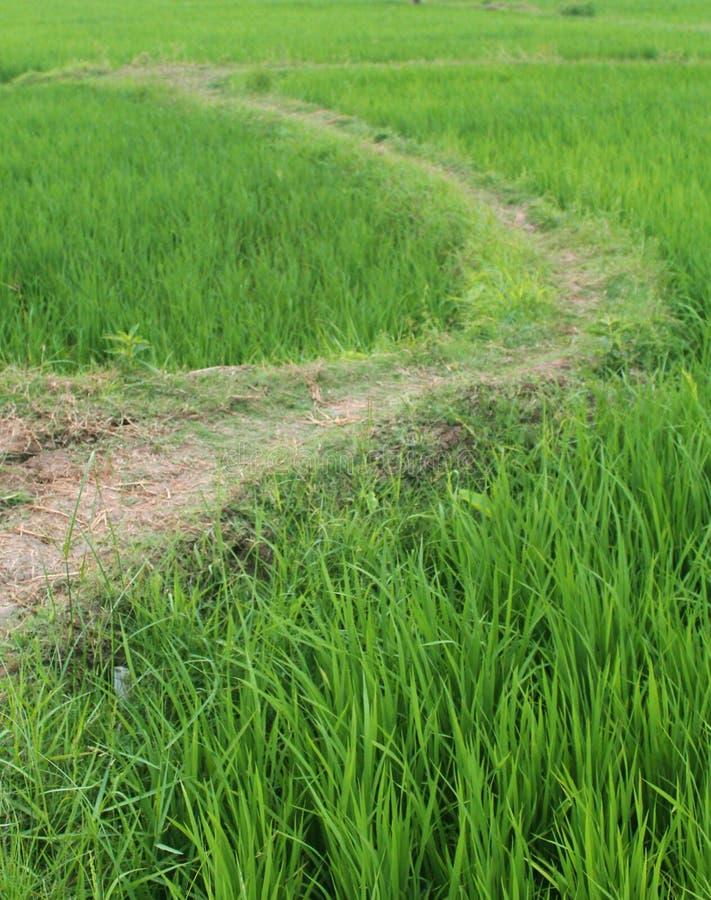 Trajeto do campo do arroz imagem de stock