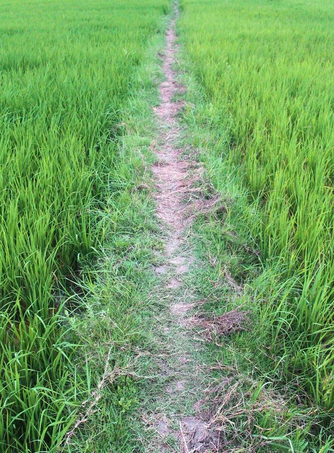 Trajeto do campo do arroz imagens de stock