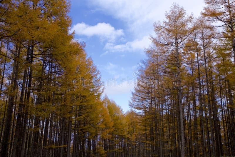 Trajeto do larício no outono fotografia de stock
