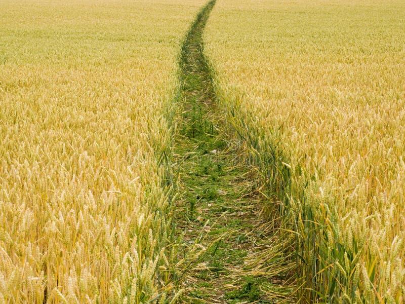 Trajeto em um campo de trigo fotos de stock
