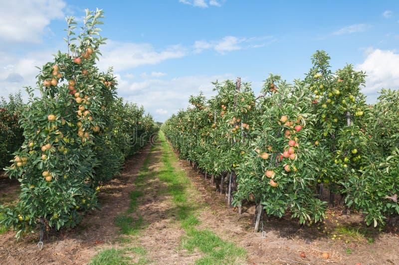 Trajeto entre as baixas árvores de maçã fotografia de stock royalty free