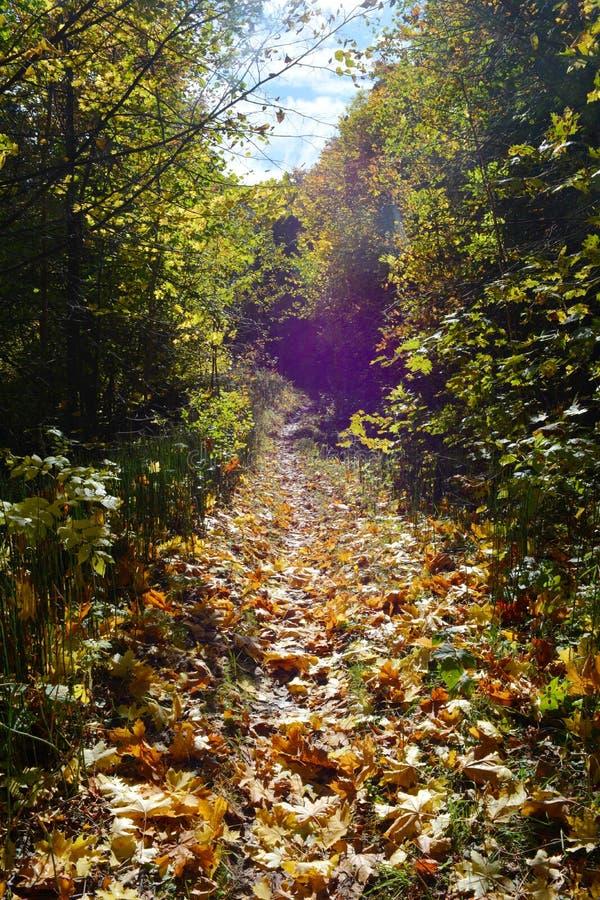 Trajeto misterioso através da estrada de floresta do outono das folhas de bordo caídas Paisagem feericamente fotografia de stock royalty free