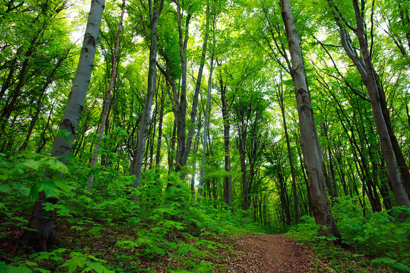 Trajeto na floresta decíduo verde, fundo da natureza foto de stock