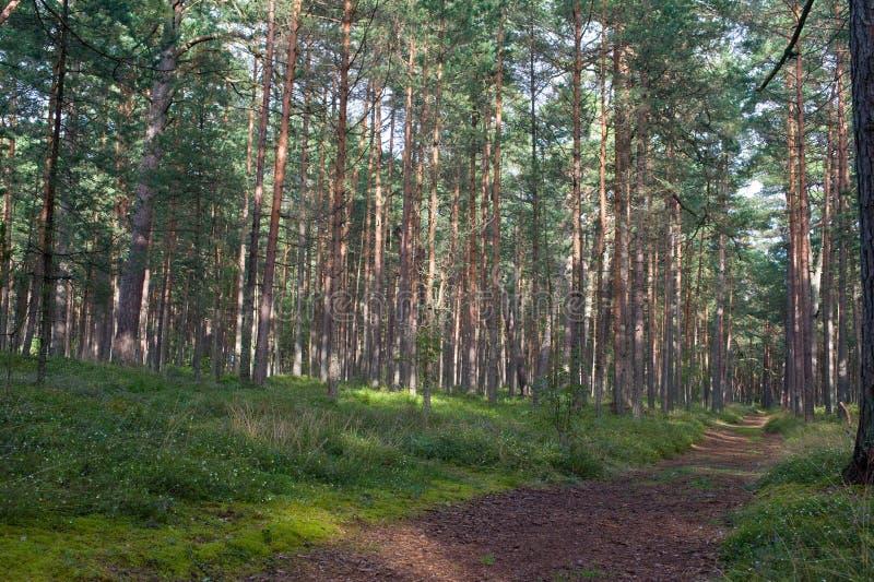 Download Trajeto no bosque do pinho imagem de stock. Imagem de paisagem - 26500247
