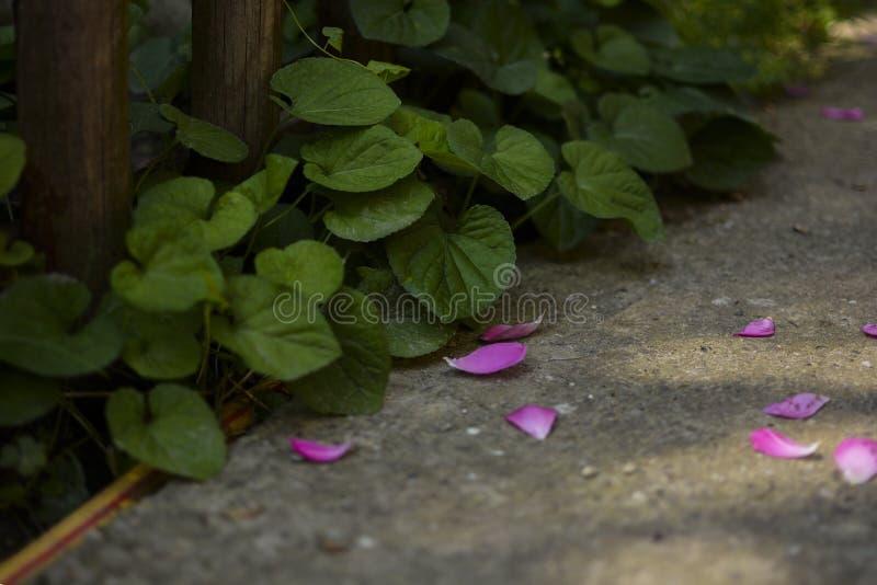 Trajeto no jardim polvilhado com as pétalas cor-de-rosa cor-de-rosa imagens de stock royalty free