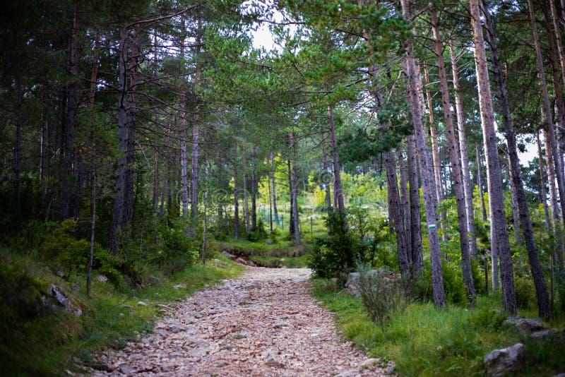 Trajeto rochoso nas madeiras de pinho verdes na mola foto de stock