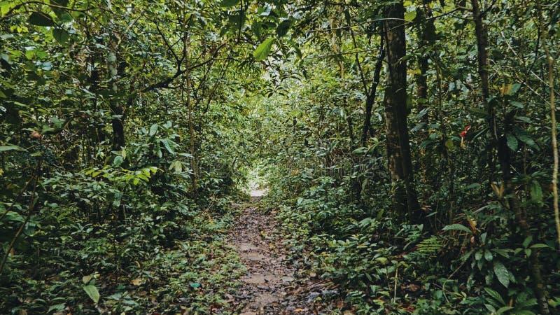 trajeto tropical da selva da floresta úmida com vegetação luxúria imagens de stock