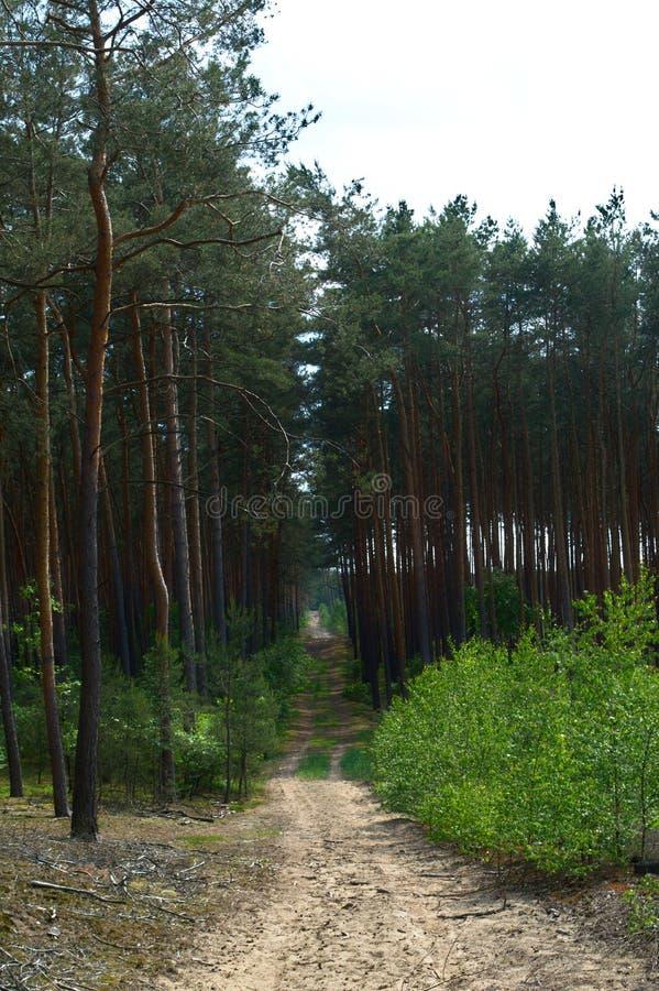 Trajeto vazio da sujeira em uma floresta do pinho fotografia de stock royalty free