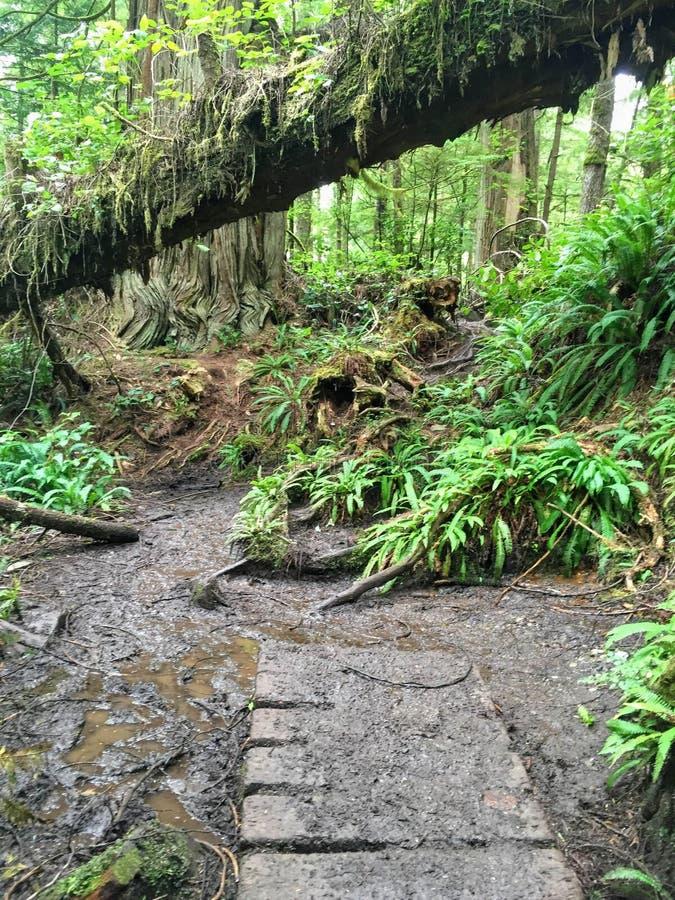 Trajeto velho da degradação ao longo da fuga da costa oeste na ilha de Vancôver, foto de stock
