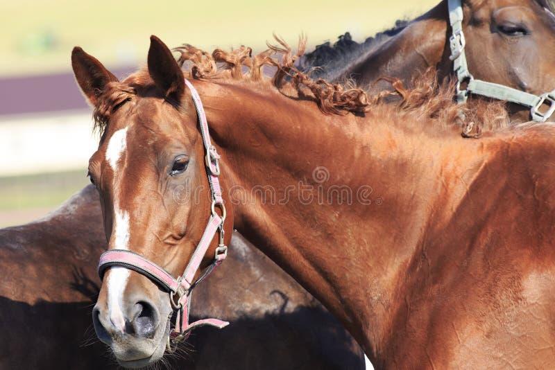 Trakehner母马品种 美丽的纵向 图库摄影