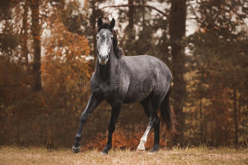 Trakehner mare horse trotting on green meadow on forest background royalty free stock images