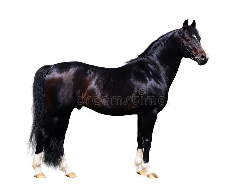 trakehner noir d'étalon de cheval de forme photographie stock libre de droits