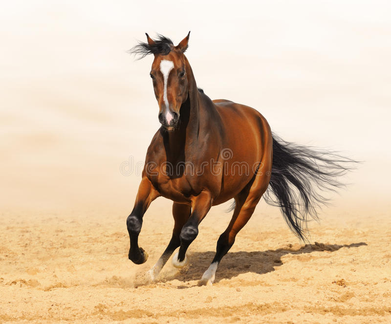 Trakehner red-bay color stallion in motion stock photo