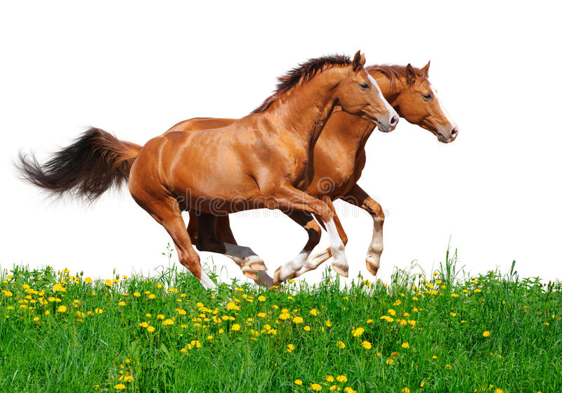 Trakehner Stallions Gallop In Field Royalty Free Stock Image