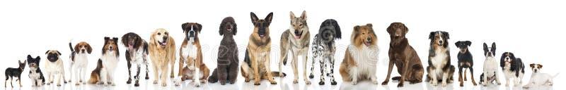 Trakenów psy zdjęcie royalty free