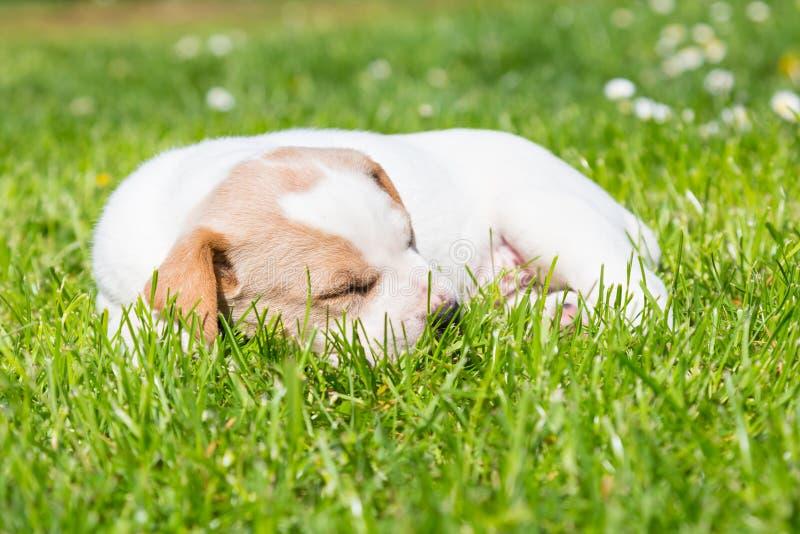 Trakenu śliczny mały szczeniak na trawie obrazy royalty free