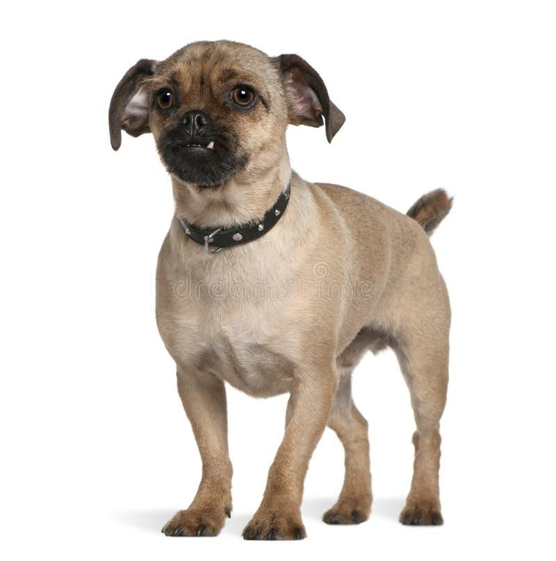 trakenu (1) rok psi mieszany stary trwanie obraz royalty free