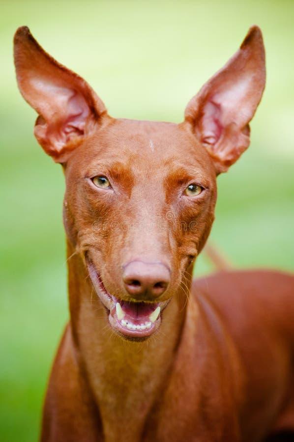 trakenu cirneco psa portret rzadki obraz stock