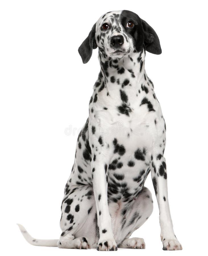 trakenu dalmatian pies mieszający zdjęcia royalty free