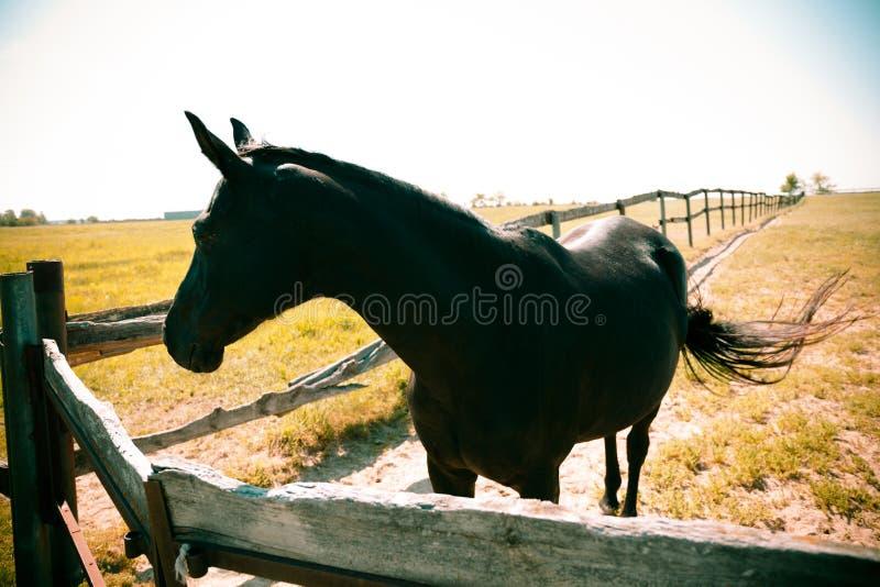 Trakenu konia gospodarstwo rolne, equestrian stado fotografia royalty free