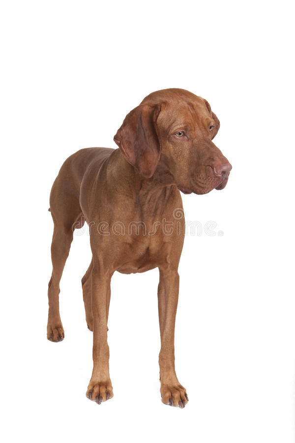 trakenu vizsla psi czysty fotografia stock