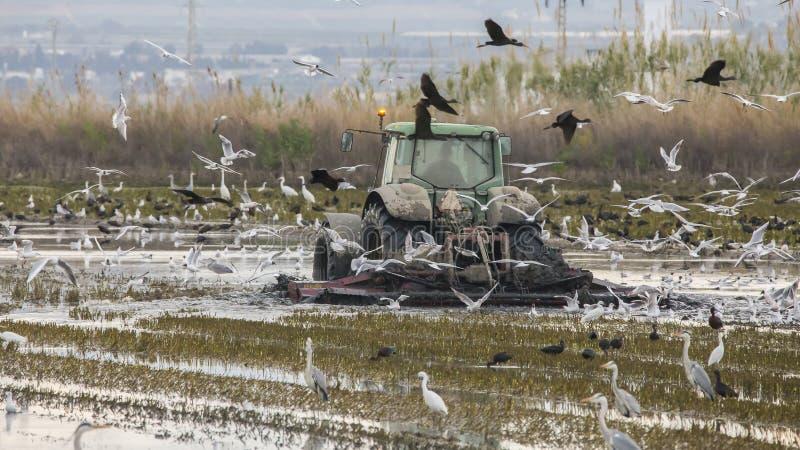 Traktor, der ein Reisfeld in Albufera von Valencia bei Sonnenuntergang bebaut lizenzfreies stockbild