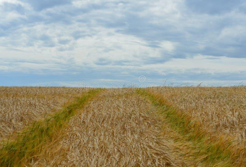 Traktorbahnen auf einem Weizengebiet stockfoto