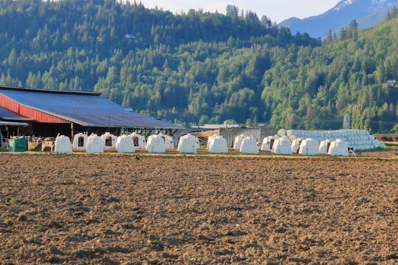 Traktowanie bydlę na gospodarstwie rolnym zdjęcia royalty free