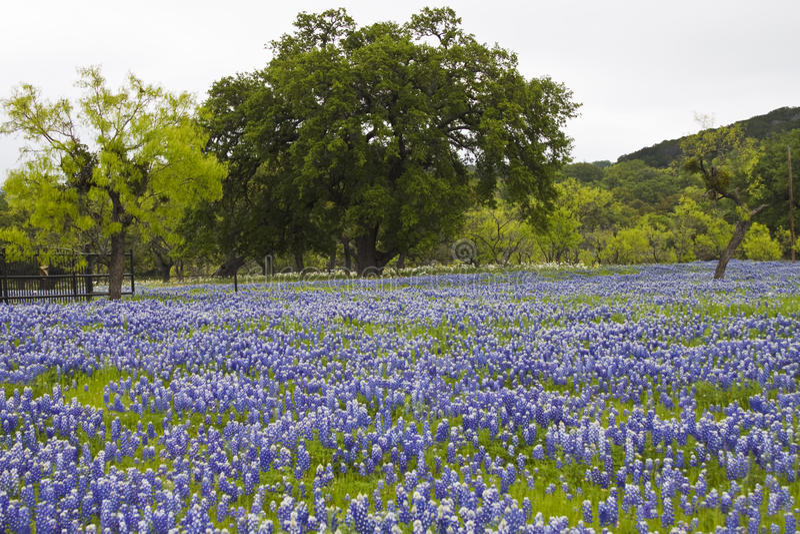 tral bluebonnet bluebonnets zdjęcia royalty free