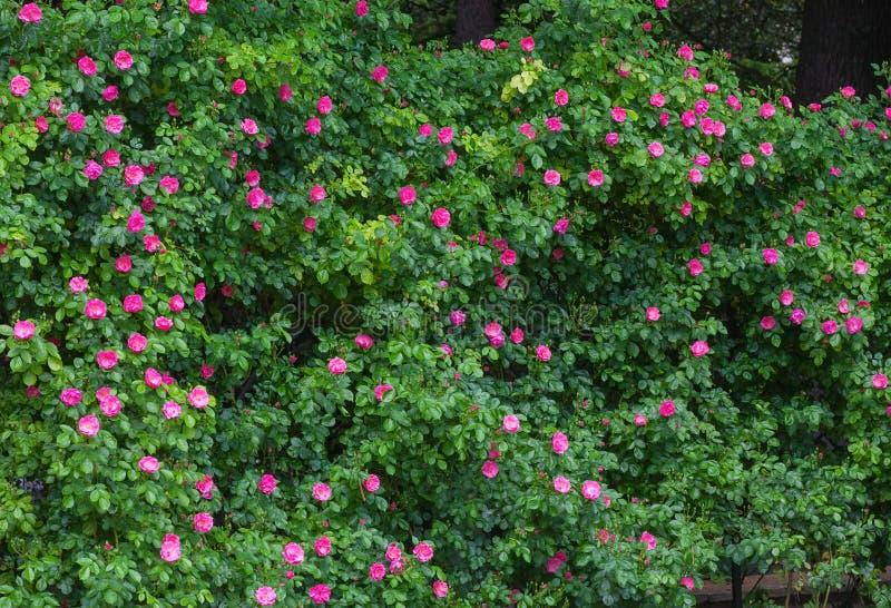 Traliccio bianco che supporta una vite della rosa rossa. fotografia stock