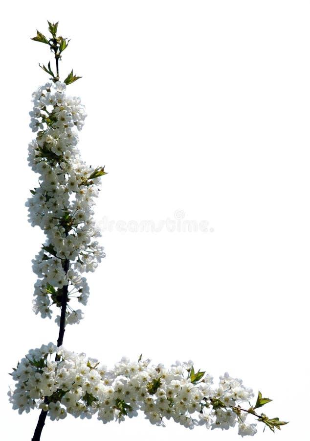 Trame #04 de fleur (d'isolement) images libres de droits
