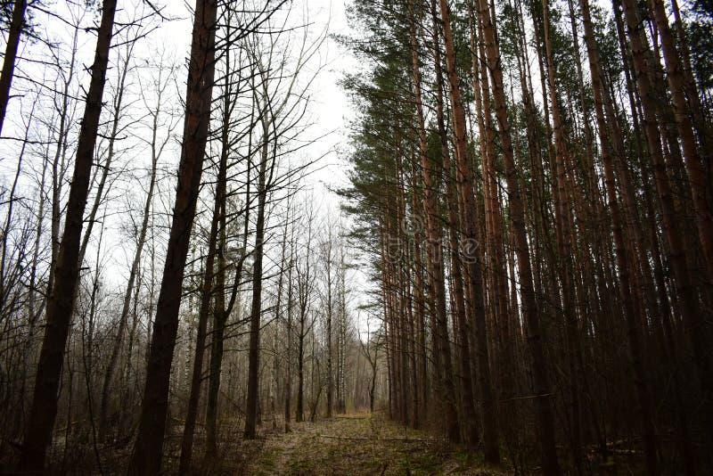 Tramo de niebla de los pinos finos y lisos troncos de pinos que se encuentran uno al lado del otro, formando un sólido fotografía de archivo